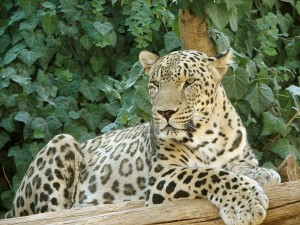Persian_Panter_Leopard