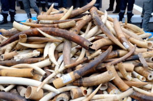 Conservationists Criticize Possible Lifting of the Ban on Import of Elephant Trophies
